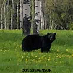 black-bear-spring-grass-don-stevenson