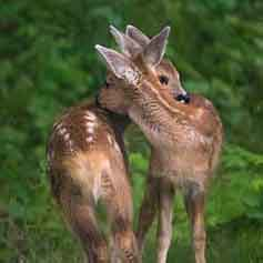 young-deer-wildlife-management-british-columbia
