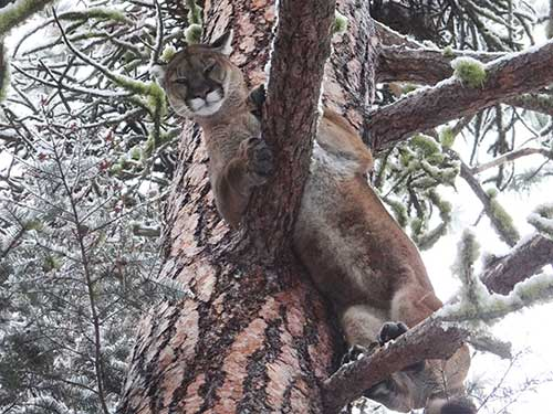 cougar in tree british columbia
