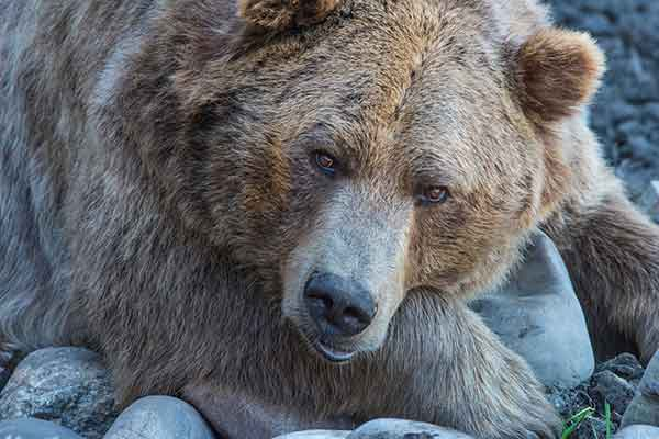 GRIZZLY-BEAR-KEVIN-NOBLE
