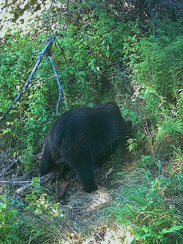 grizzly digging northern bc