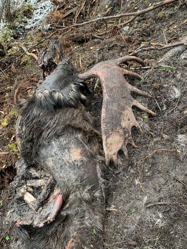 MOOSE KILLED BY GRIZZLY NORTHERN BRITISH COLUMBIA