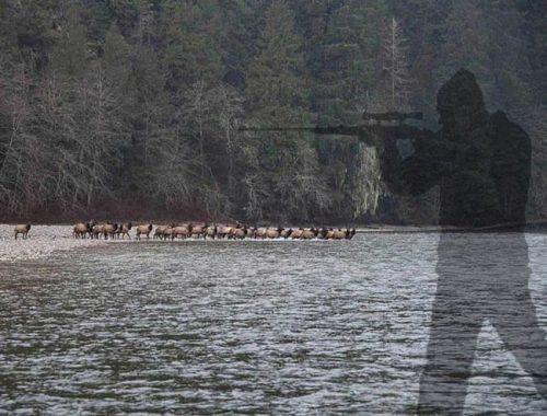 elk herd