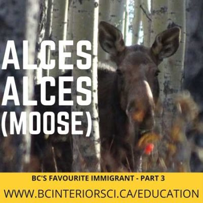 alces-alces-moose-series-hunters-for-bc-sci