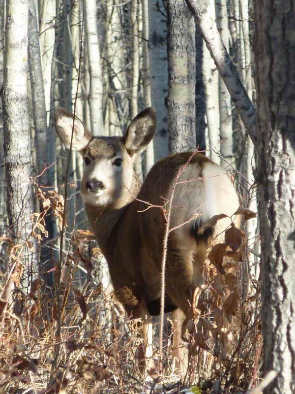 mule-deer-doe-coldstream-evan-saugstad
