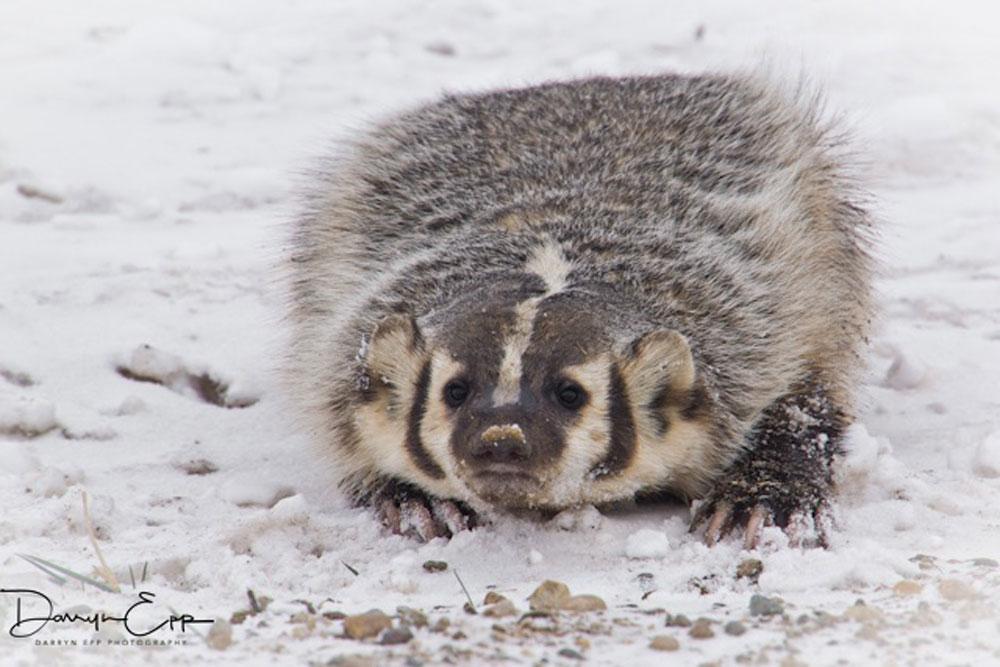 american-badger-darryn-epp-photographer