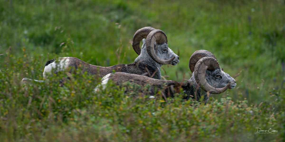 stone-sheep-northern-bc-darryn-epp-photographer