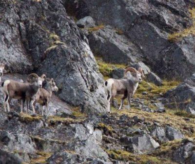 stone-sheep-northern-bc-spatizi-outfitters-2