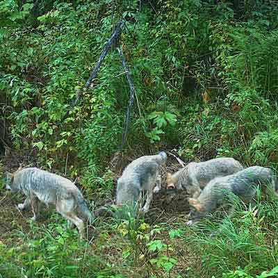pack-of-wolves-northern-bc-evan-saugstad