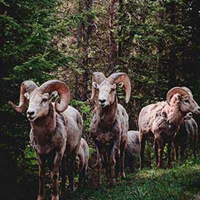 wild-sheep-herd-british-columbia