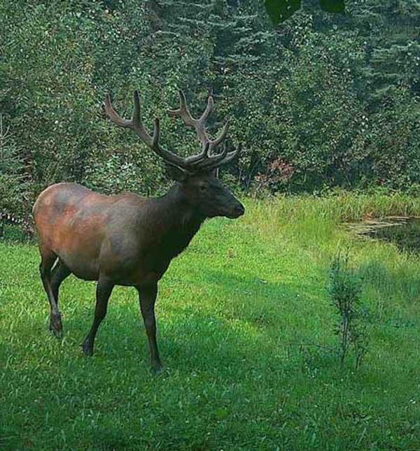 bull elk northern bc