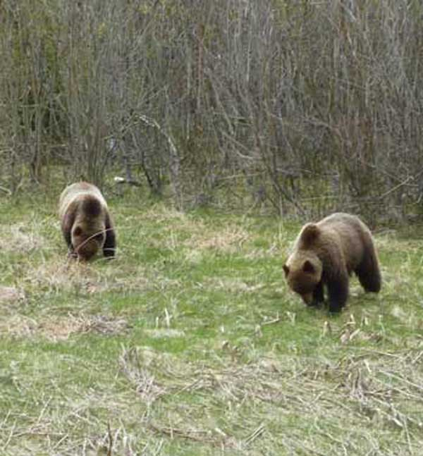 GRIZZLY BEARS NORTHERN BC
