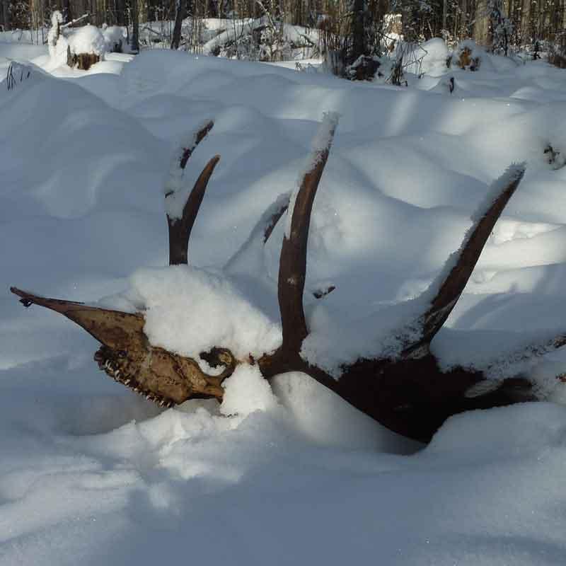elk skull wolf kill coldstream bc