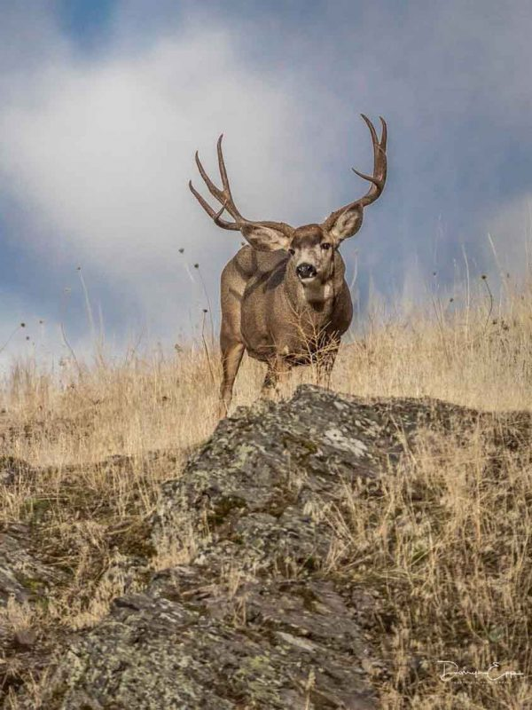 mule-deer-buck-on-rock-darryn-epp-photography
