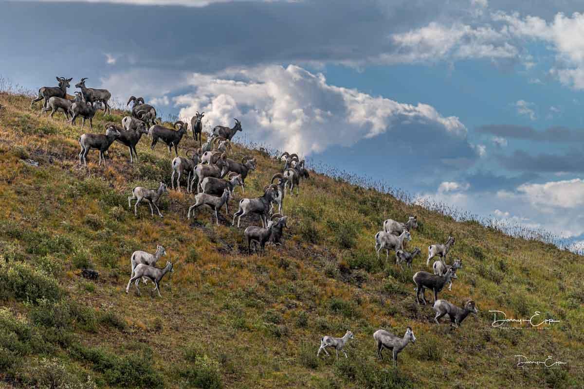 herd-of-stone-sheep-northern-bc-darryn-epp-photographer